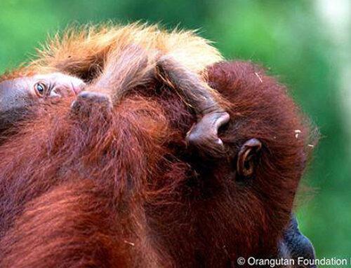 Orangutan Foundation International (OFI)